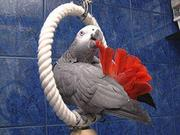 I have 2 macaw and 3 african grey parrots for sale.
