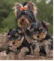 Yorkies - Yorkshire Terrier Puppies