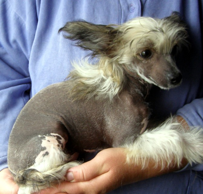 CKC Chinese Crested puppies for sale, Regina SK - Whistler